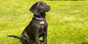 An attentive black Labrador puppy sits patiently on the grass.