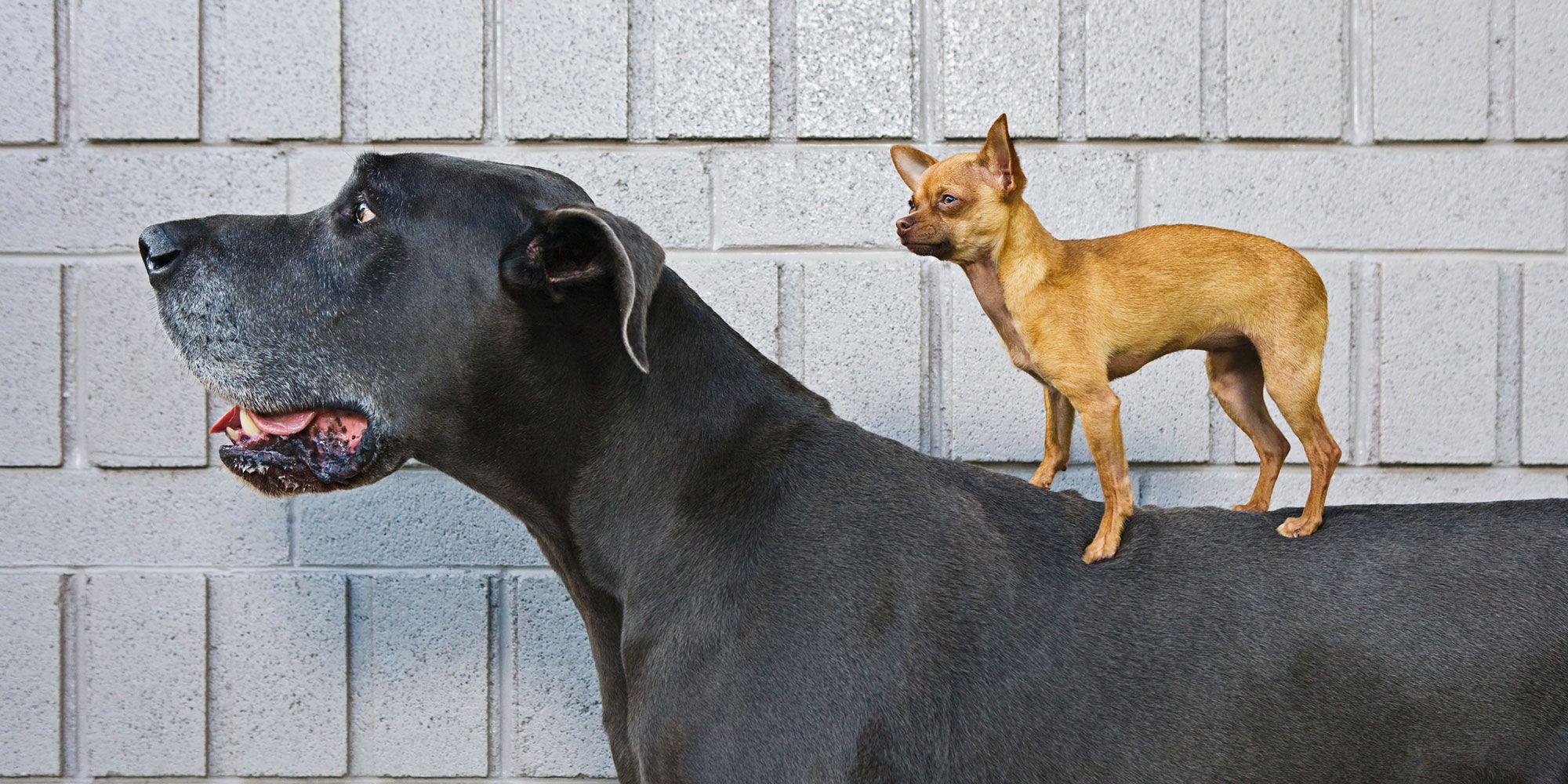Small dog standing on big dog