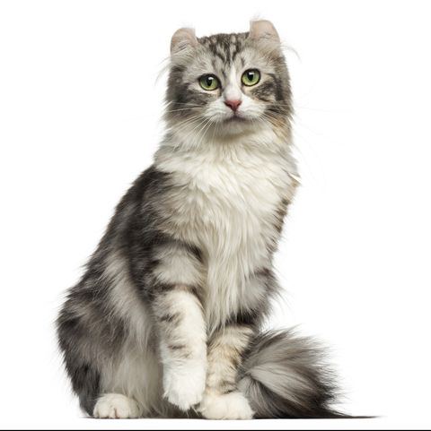 small cat breeds - american curl