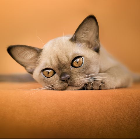 small cat breeds - burmese