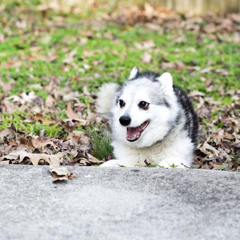 smalldogbreedsalaskankleekai