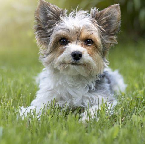 smalldogbreedsbiewerterrier