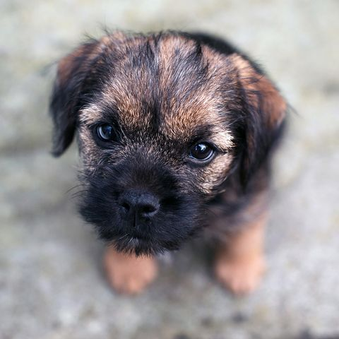 small dog breeds border terrier