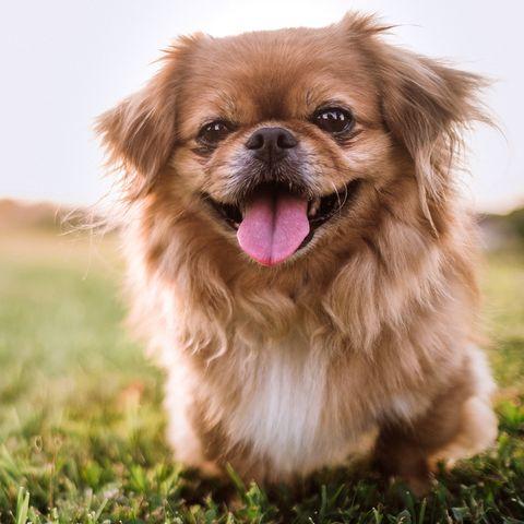 small dog breeds pekingese