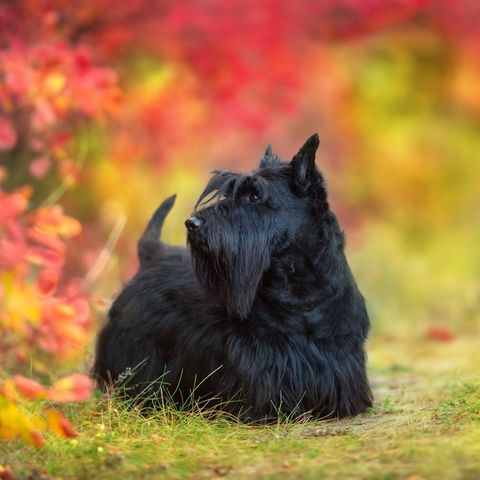 small-dog-breeds-scottish-terrier