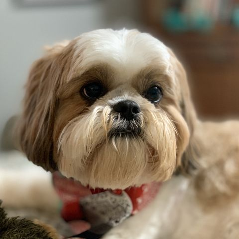 small-dog-breeds-shih-tzu