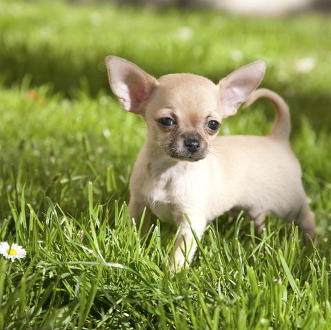 small-dogs-chihuahua