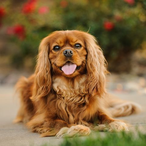 small dogs good with kids - cavalier king charles spaniel
