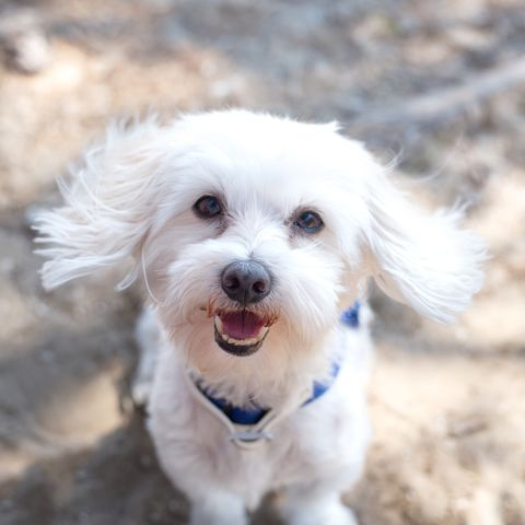 12 Small Dog Breeds Good With Kids Shih Tzu Maltese And More