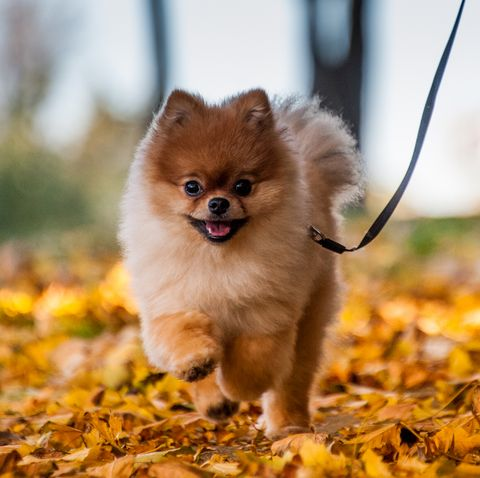 small dogs good with kids - pomeranian