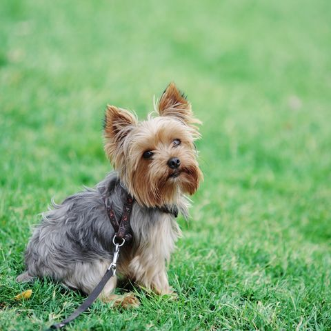 small-dogs-yorkshire-terrier