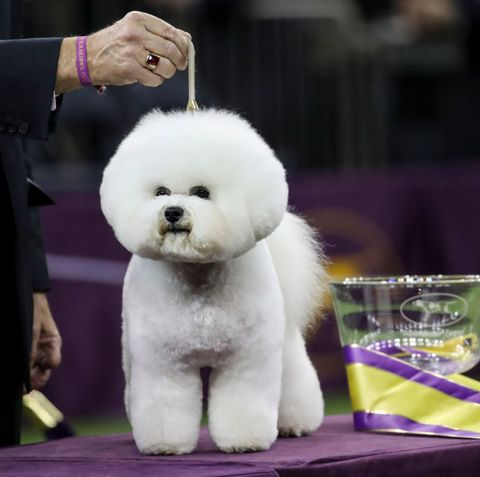 small fluffy dog breeds bichon frise