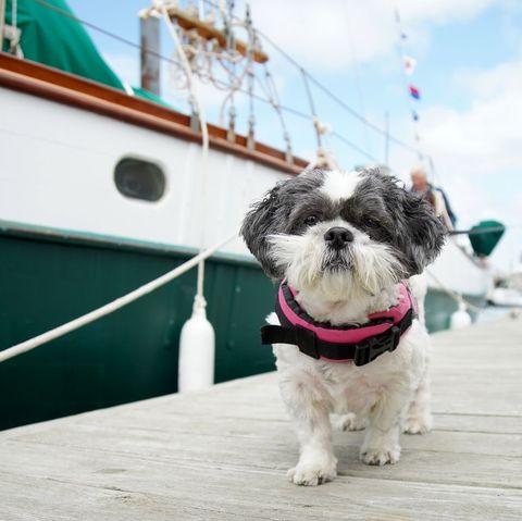 small fluffy dog breeds shih tzu