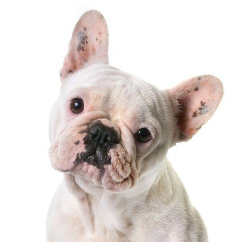 15 Small White Dog Breeds Little White Dog Breeds