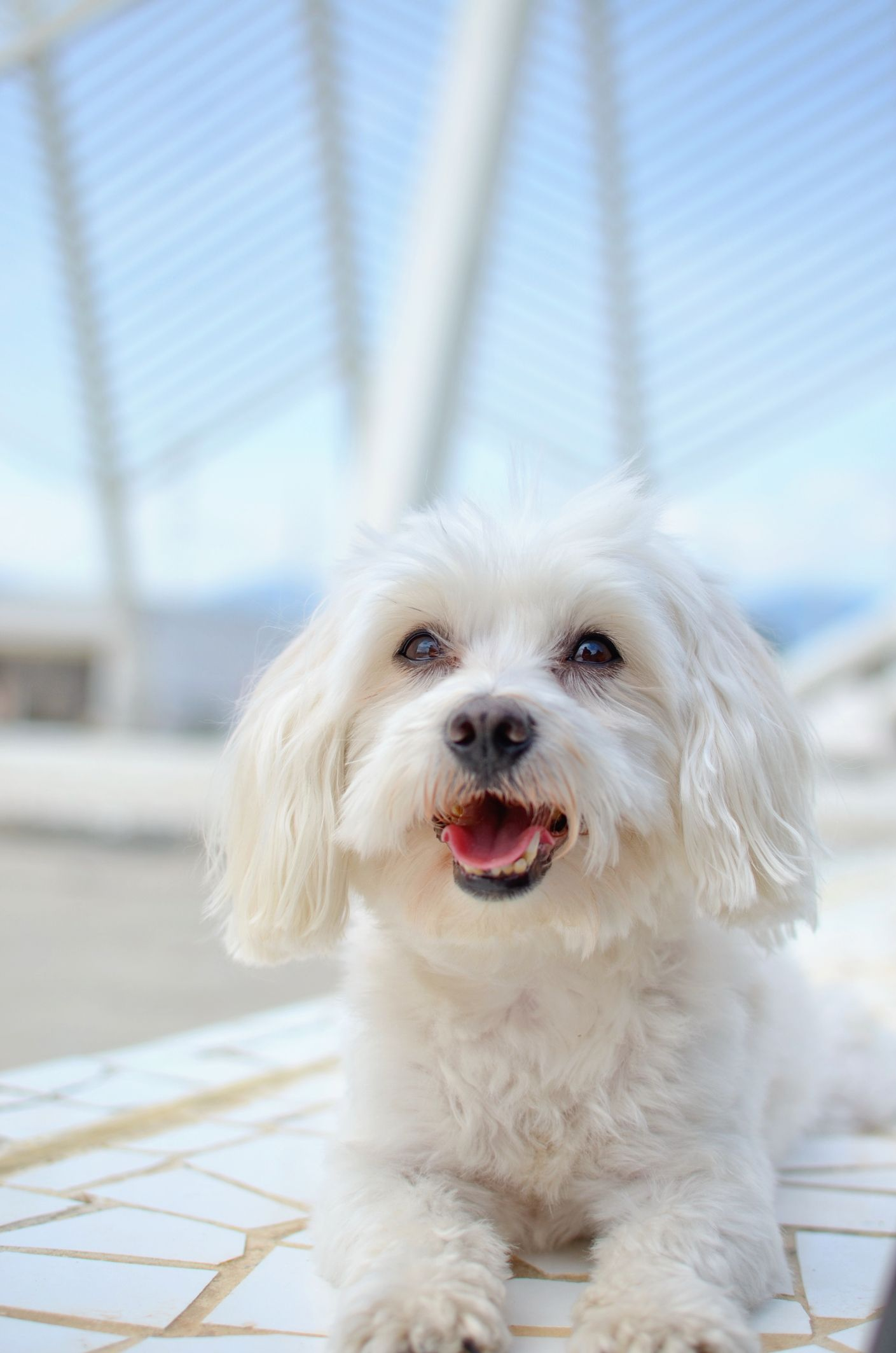 15 Small White Dog Breeds Little White Dog Breeds