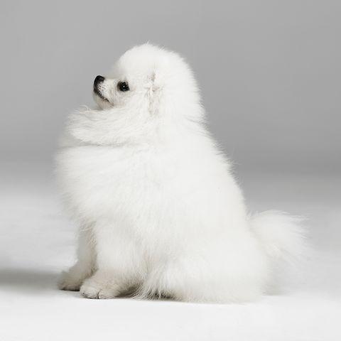 small white dog breedsPomeranians