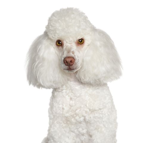small white dog breed toy poodle
