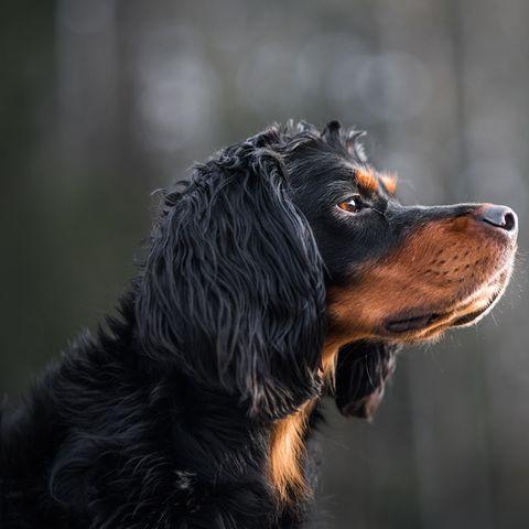 smartest dog breeds gordon setter