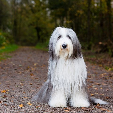 smartest dog breeds old english sheepdog