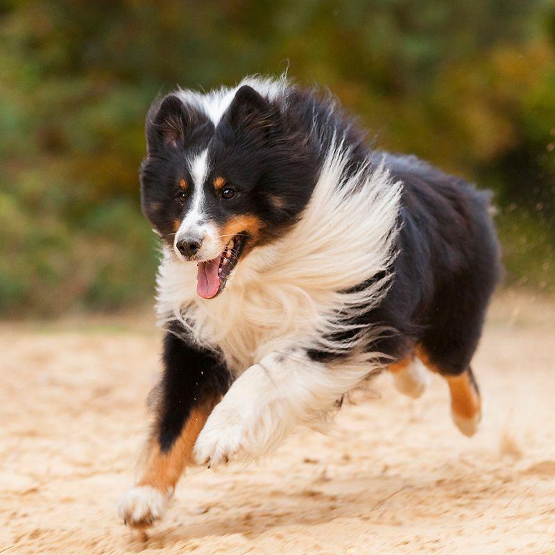 The 20 Smartest Dog Breeds Most