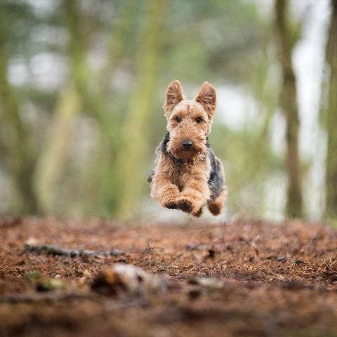 smartest dog breeds welsh terrier