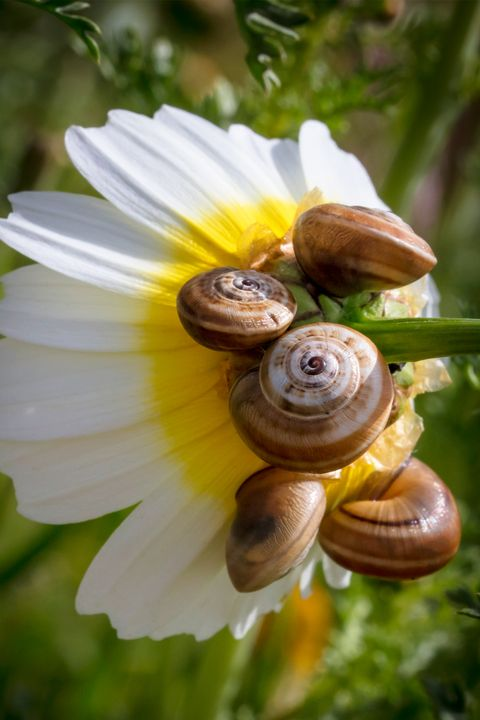 Snails on daisy flower