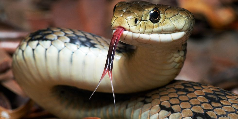 Snake diet