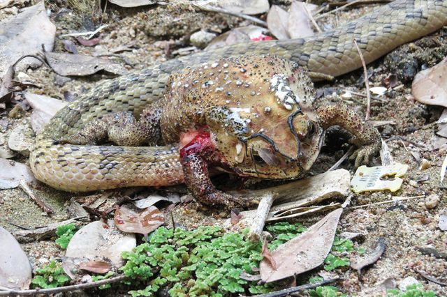 kukri snake eating the inside of a toad