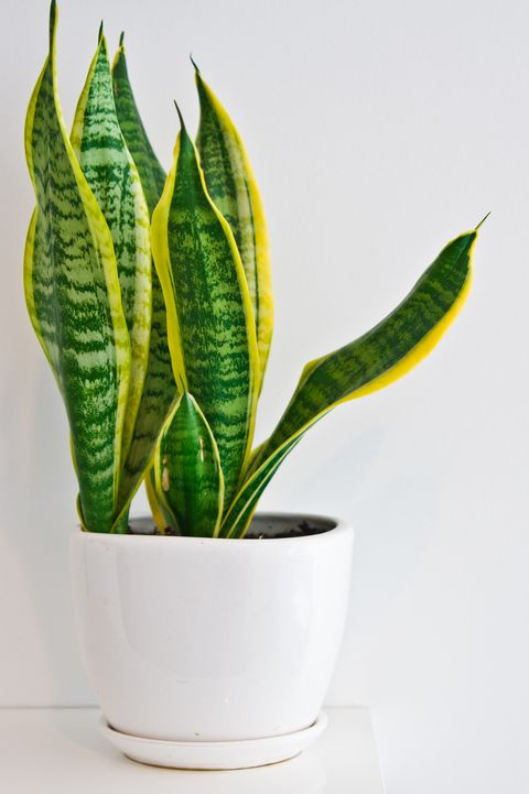 An elegant green pot plant as room decoration against white wall. Sansevieria or bowstring hemp.