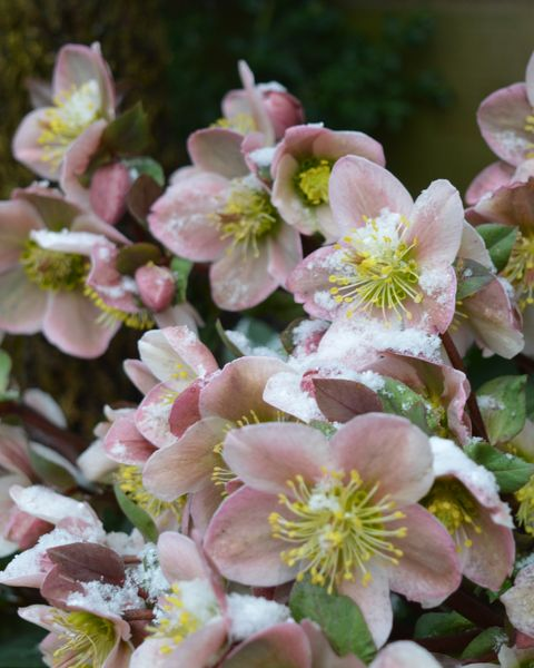 winter flowers hellebores