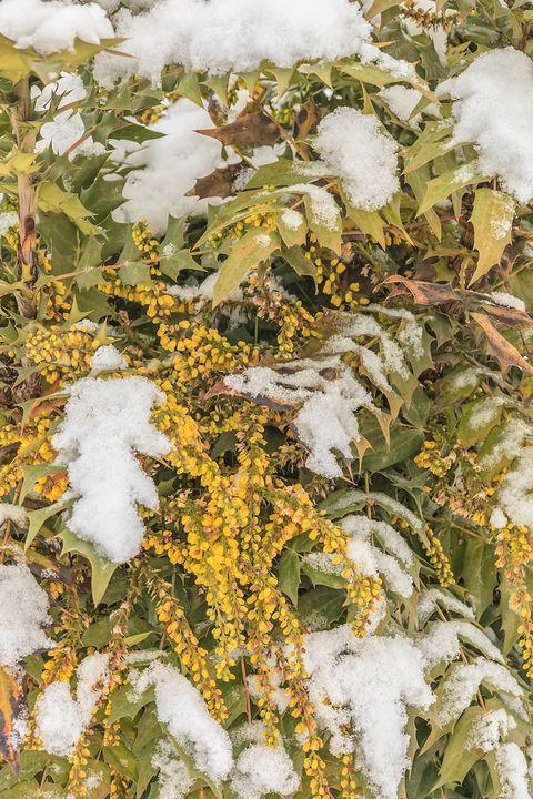 snowy mahonia