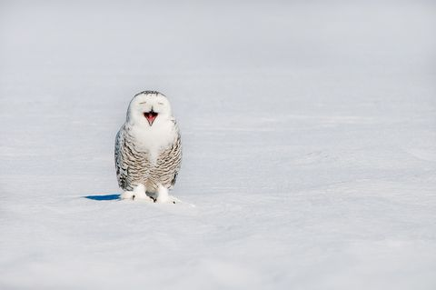 snowy owl bubo scandiacus yawning on snowy field in winter, quebec, canada