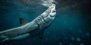 ataque tiburón blanco