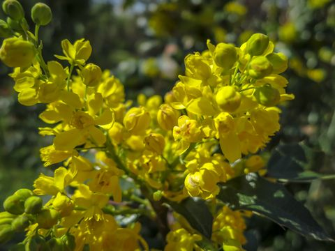 Soft focus bright yellow color of spring flowers Mahonia Aquifolium against the dark green of the plant Wonderful natural background for any idea