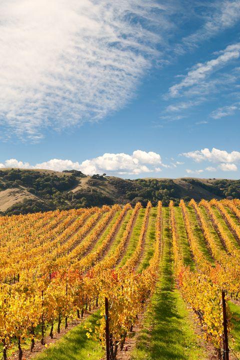 Sonoma Valley Winery Vines