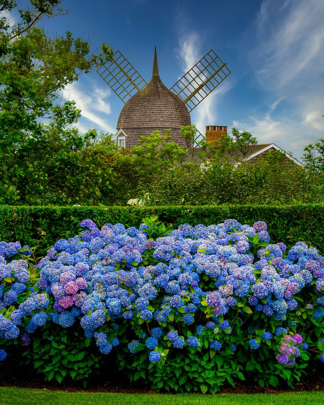 southampton summer scenes with windmill and hydrangea in bloom