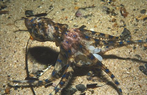 Southern blue-ringed octopus, Hapalochlaena maculosa, carrying the clutch of eggs she is brooding, Edithburgh, Yorke Peninsula, South Australia