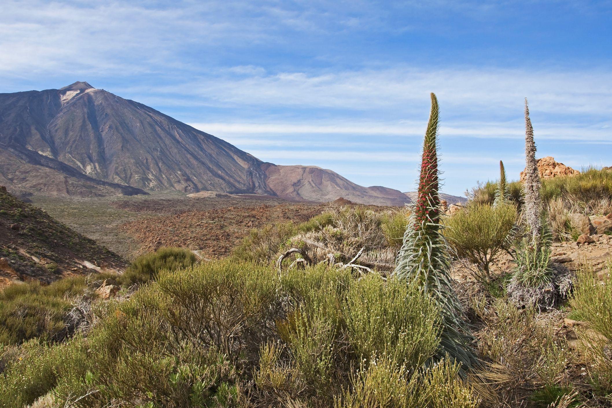 Spain, Canary Islands, Tenerife, Los Roques de Garcia, Mount Teide, Teide National Park, Echium Wildpretii