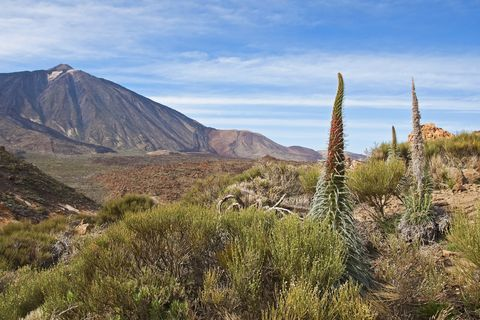 Spain, Canary Islands, Tenerife, Los Roques de Garcia, Mount Teide, Teide National Park, Echium Wildpretii