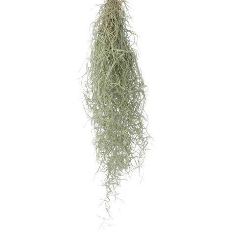 Spanish moss - air plant - Scandiscapes - £10