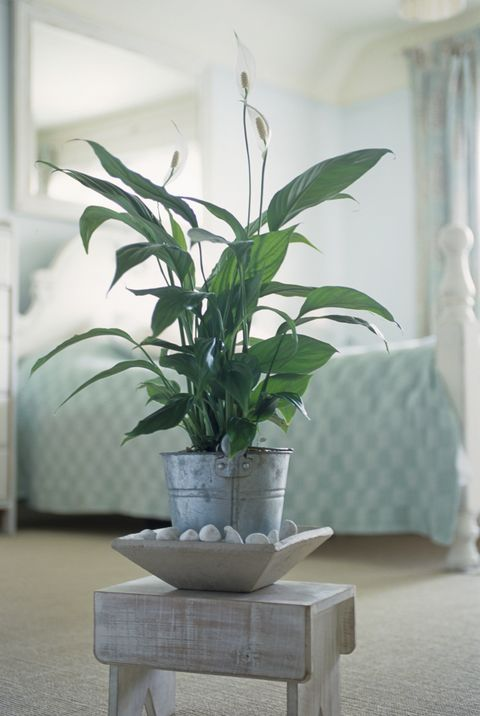 Spathiphyllum sp. (Peace lily), pot plant on wooden stool in bedroom