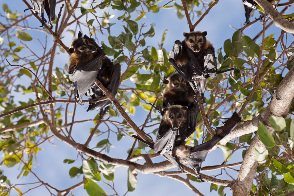 A Single Heat Wave Killed One Third Of Spectacled Fruit Bats In Australia