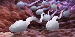 Hoe lang blijft een zaadcel in leven?