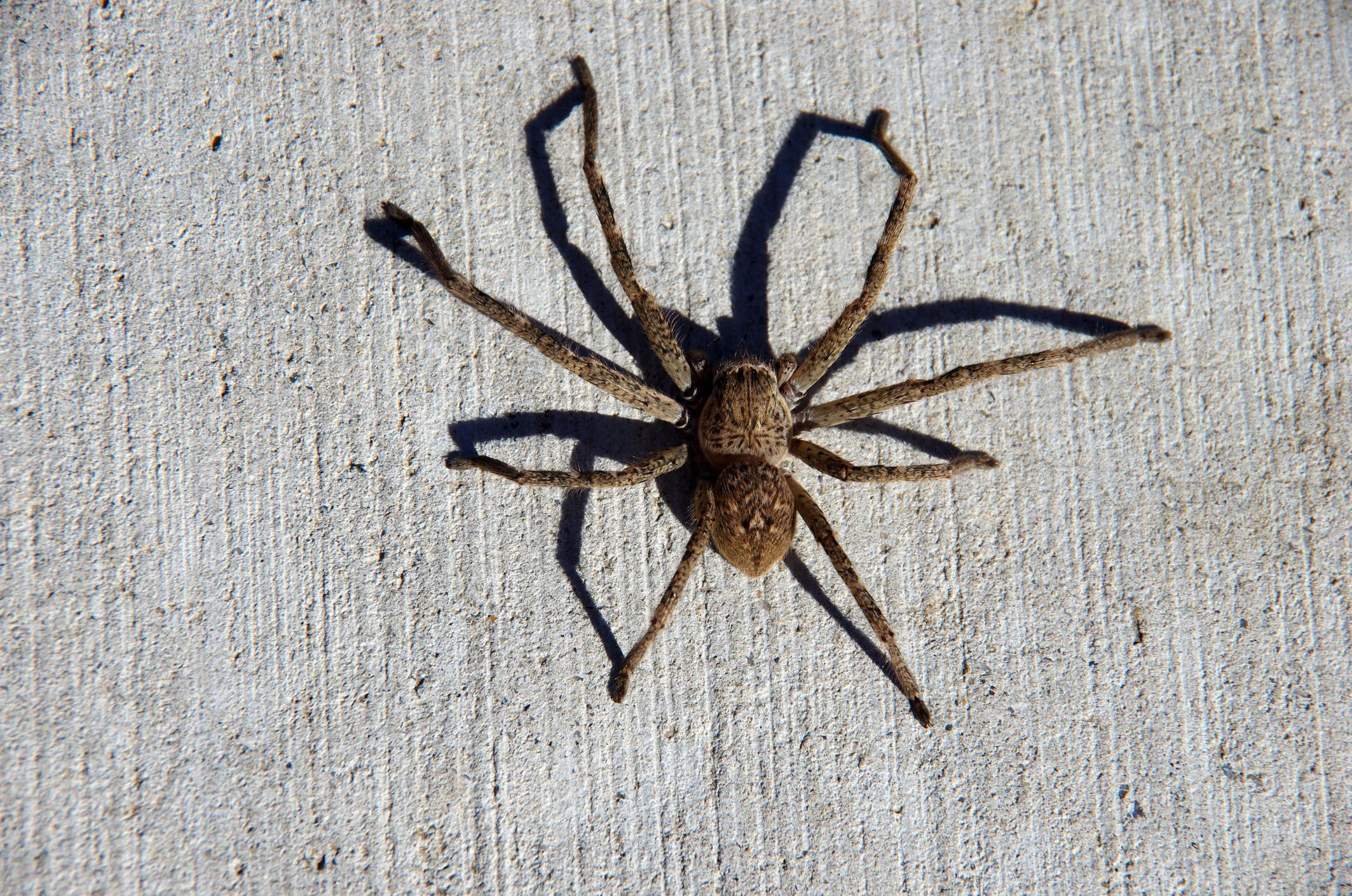 This Giant Huntsman Spider Literally Ate a Possum
