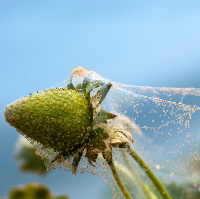 spider mite infestation on plant