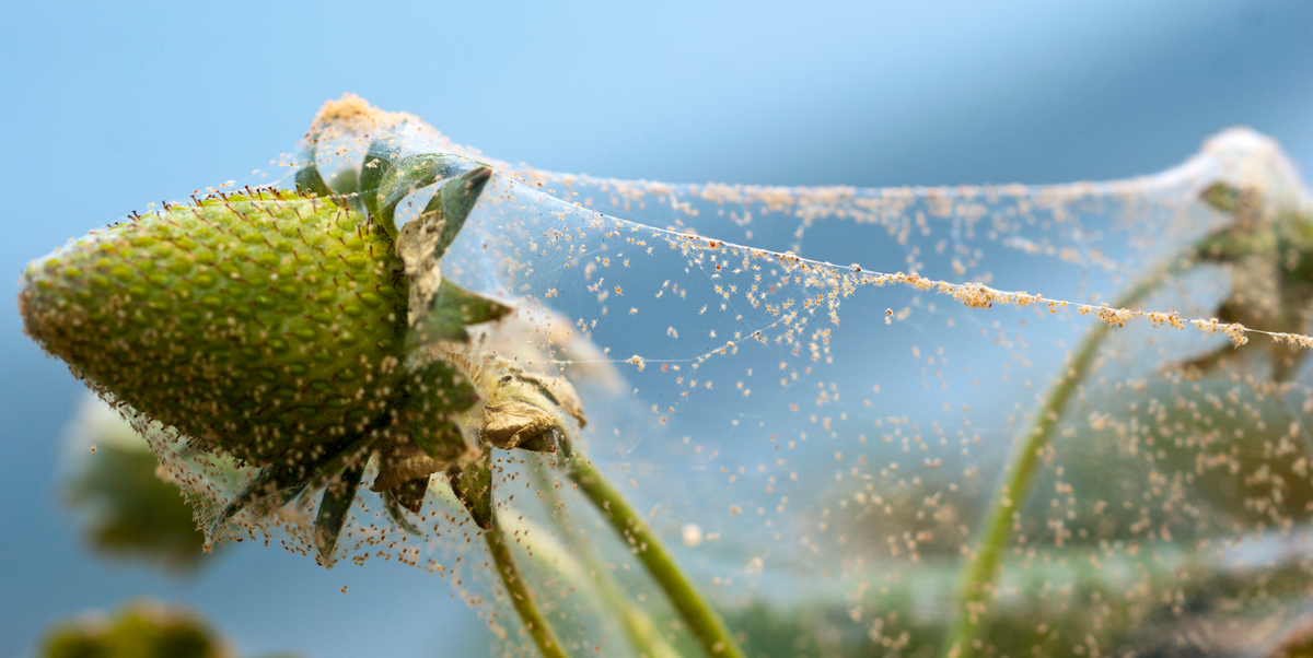 How to Get Rid of Spider Mites That Have Infested Your Garden or House Plants