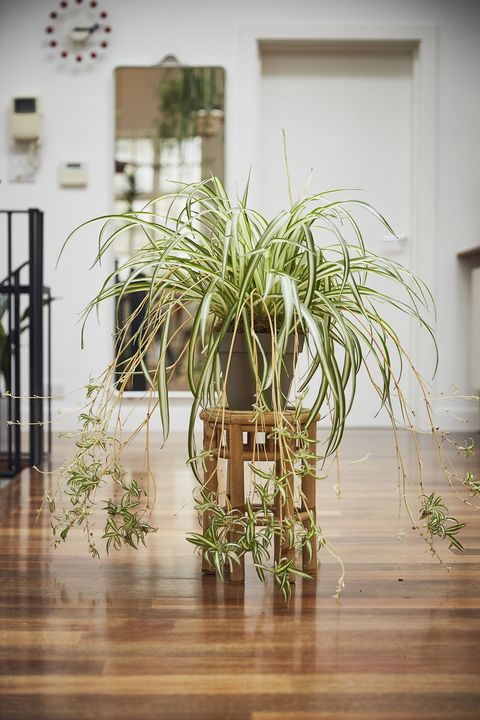 Spider plant on wooden stand