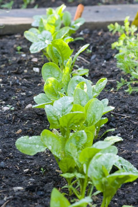 row of baby spinach