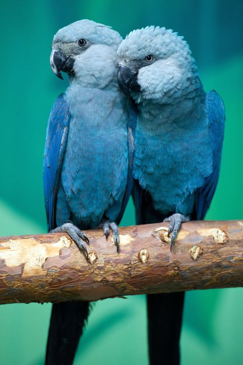 Spix's macaws Felicitas (L) and Frieda s