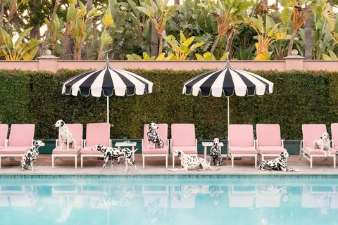 dalmatians lounging by pool in colourful hotel